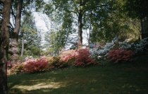 Image of Azaleas on Slope Below Gates Hall  1956 - 2013.1.66