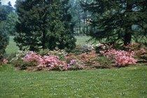 Image of Glenn Dale hybrid azaleas  1956 - 2013.1.68