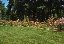 Image of Azalea Planting - 2013.1.71