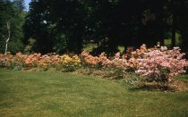 Image of Azalea Meadow  1956 - 2013.1.74