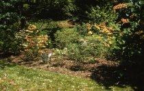Image of Native Azalea Planting  1959 - 2013.1.78