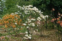 Image of Native Azalea Planting  1958 - 2013.1.81