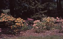 Image of Rhododendron  1965 - 2013.1.91