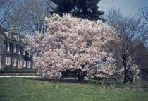 Image of Prunus yedoensis Cherry Trees at Swarthmore College  1940s - 2013.2.3
