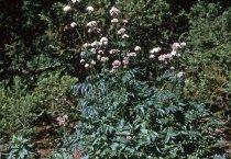 Image of Valeriana officinalis in the Medicinal Garden  1964 - 2013.1.609