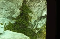 Image of Asplenium cryptolepis  - 2013.1.643