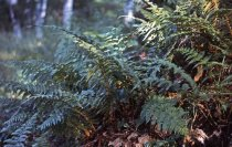 Image of Polystichum Braunii,  Reading, VT 1965 - 2013.1.649