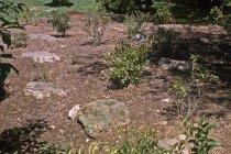 Image of Heath garden, Morris Arboretum 1963 - 2013.1.657