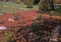 Image of Heath garden, Morris Arboretum 1963 - 2013.1.664