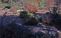 Image of Heath garden,  Morris Arboretum 1965 - 2013.1.696