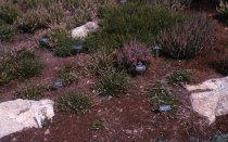 Image of Heath garden,  Morris Arboretum 1966 - 2013.1.700