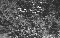 Image of Plants before 1988 - 2013.1.705