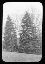 Image of Conifers at Compton - 2015.35.8