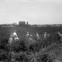 Image of 12 people picking berries - Print, Photographic