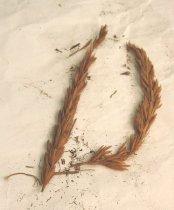 Image of 1978.55.603 - Specimen, Grass
