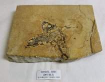 Image of 79.1.002.46, Fossil