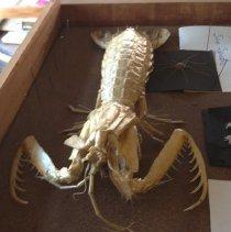 Image of 0926 Mantis shrimp detail