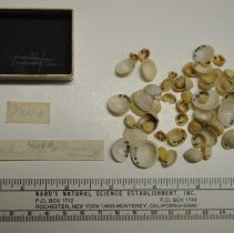 Image of 2/0328b - Gastropoda