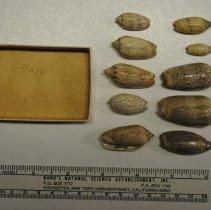 Image of 2/0539 - Gastropoda