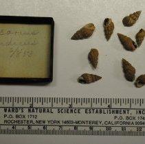Image of 2/0583 - Gastropoda