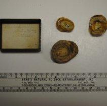 Image of 2/1041c - Gastropoda