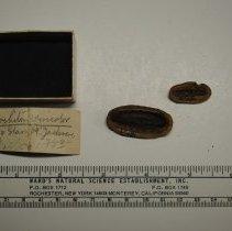 Image of 2/1081 - Gastropoda