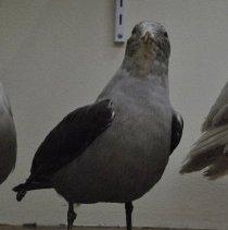 Image of 2231 Heermann's Gull