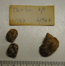 Image of 2/0742 - Gastropoda