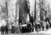 Image of Big tree in Muir Woods, 1916