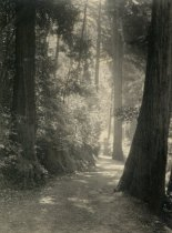 Image of Trees in Muir Woods, circa 1914-1920                                                                                                                                                                                                                       - Print, Photographic