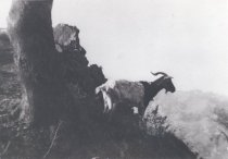 Image of Goat  on trail, date unknown