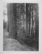 Image of Trees and trail in Muir Woods, circa 1914-1920                                                                                                                                                                                                             - Print, Photographic