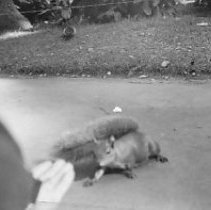 Image of B&W photo squirrels Golden Gate State Park 29 June 1942