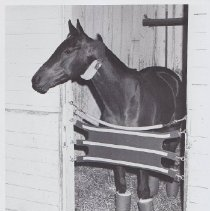 Image of Sharp Gary in stall in barn