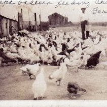Image of Vallera Property - This is a photograph of the Vallera property located near 95th Street and Kilpatrick Avenue.  There are a number of chickens being fed by Valentino Vallera.