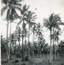 Image of World War II Photograph - This is a photograph taken in the Pacific Theater during the Second World War. It features a grove of palm trees by a road, and may have been snapped in the Philippine Islands.
