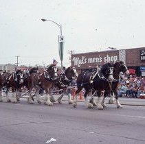 Image of 1983 Oak Lawn Fest Parade - This item is a slide of the 1983 Oak Lawn Fest Parade.  It features a team of horses pulling a Budweiser Wagon down 95th Street.  Mal's Men's Shop and Swell Elegante Gifts of Distinction are visible in the background.