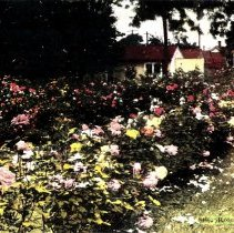 Image of Roses all Year long