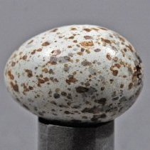 Image of Specimen, Egg