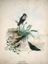 Image of Archives Collection 011 - William L. Baily Illustrations of Hummingbirds 1855-1858