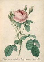 Image of Library QK495 .R78 R2 - Les roses