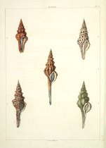 Image of Library QL404 .P46 - Conchology, or, The natural history of shells : containing a new arrangement of the genera and species, illustrated by coloured engravings executed from the natural specimens, and including the latest discoveries