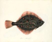 Image of Pl 25, Flounder