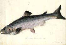 Image of Pl 29, Severn Salmon