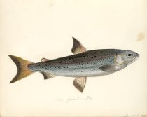 Image of Pl 34, Gwyniad or Schelly