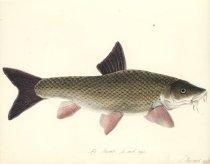 Image of Pl 9, Barbel