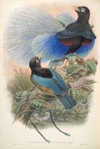 Image of Paradisornis Rudolphi