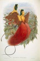 Image of Uranornis Rubra