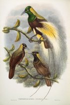 Image of Trichoparadisea Gulielmi