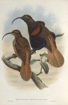 Image of Drepanornis Cervinicauda
